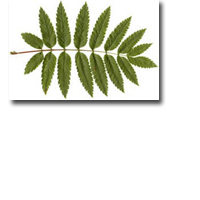 Tanda Zodiak Pohon Celtic Rowan