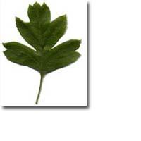 Tanda Zodiak Pohon Celtic Hawthorn