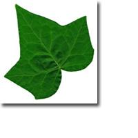 Tanda Zodiak Pohon Celtic Ivy