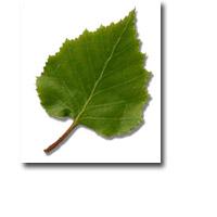 Tanda Zodiak Pohon Celtic Birch