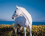Makna dan Mitologi Kuda Putih Celtic