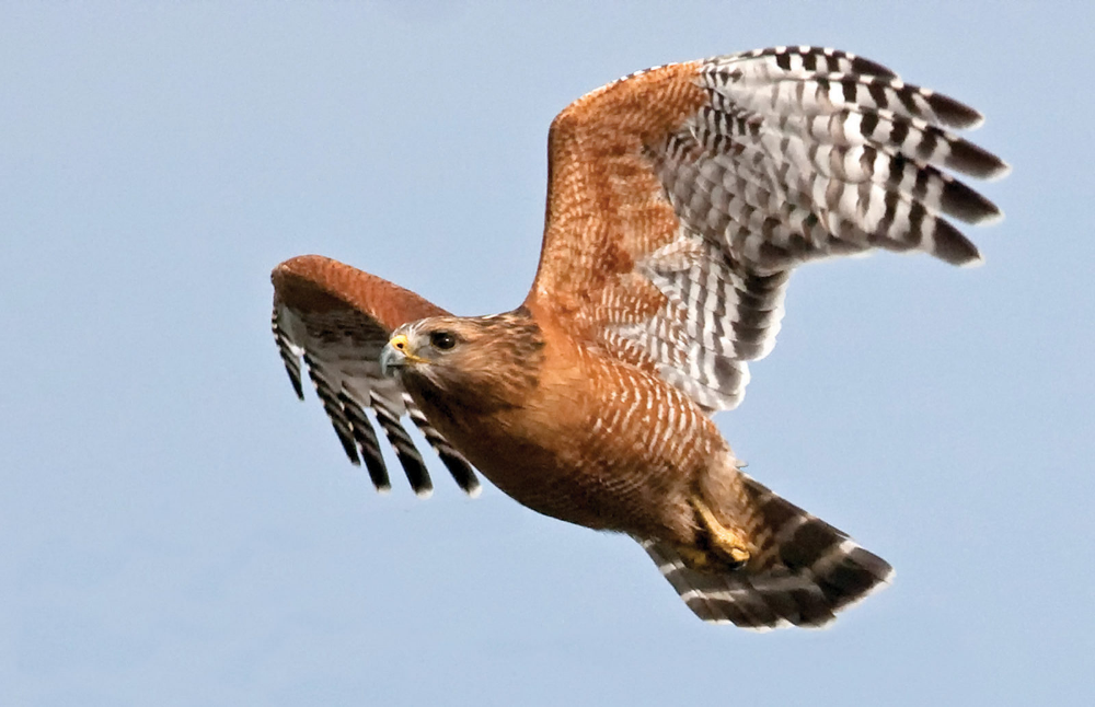 Celtic Hawk Animal Zodiac Sign