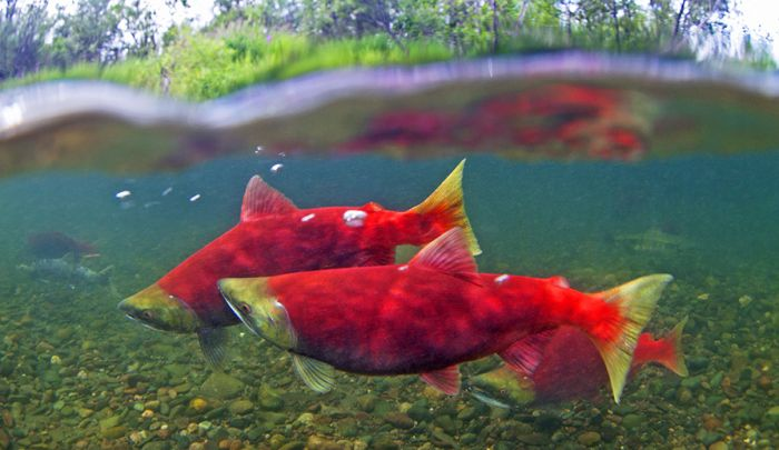 Celtic Salmon Animal Zodiac Sign